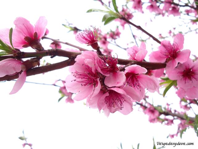 Цветущие деревья в Болгарии