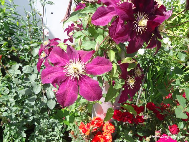Розы в Болгарии