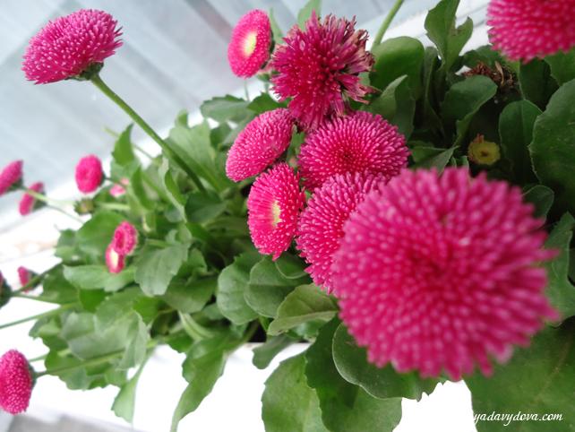 Цветы на балконе варя давыдова болгария.